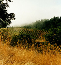 Coastal Fog and Vineyard